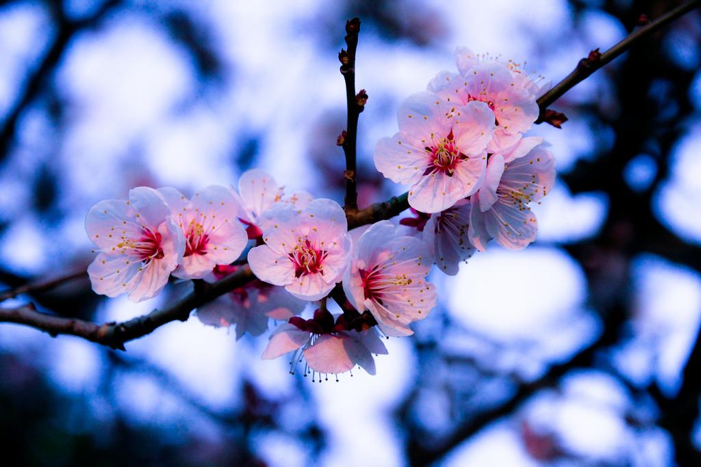 для японские картинки ветки вишни делает массовые