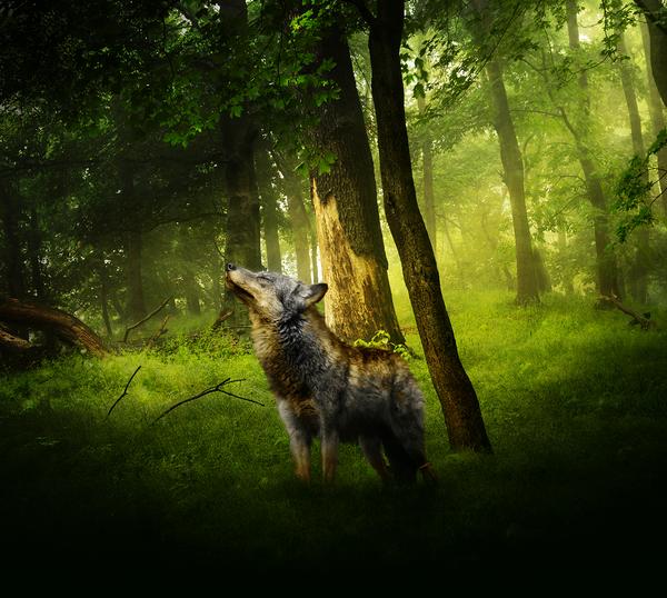 Фото Волк смотрит вверх, стоя в лесу