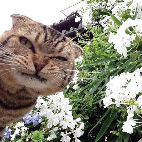 Фото Очень наглая морда кота на фоне красивых белых цветов
