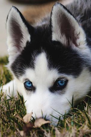 Фото Щенок хаски с голубыми глазами