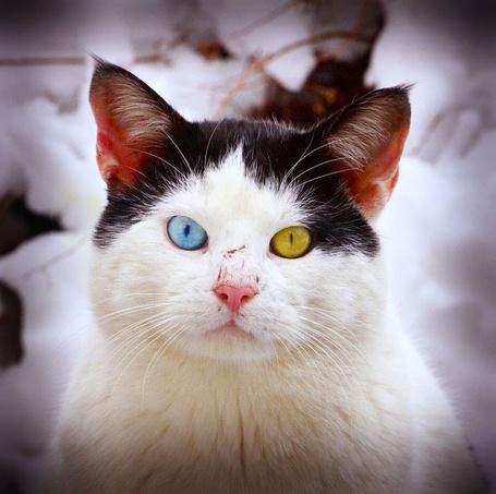 Фото Кошка с разноцветными глазами