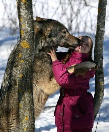 Фото Маленькую девочку облизывает большой волк