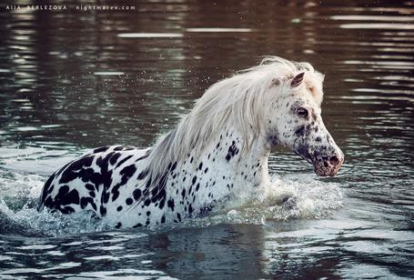 Фото Пятнистая лошадь в воде, by Nightmare-v