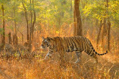 Фото Тигр бродит в осеннем лесу