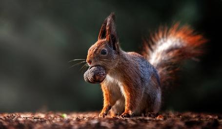 Фото Белка с орехом во рту, фотограф Полюшко Сергей