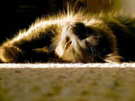 Фото Кот лежит на ковре в лучах дневного света