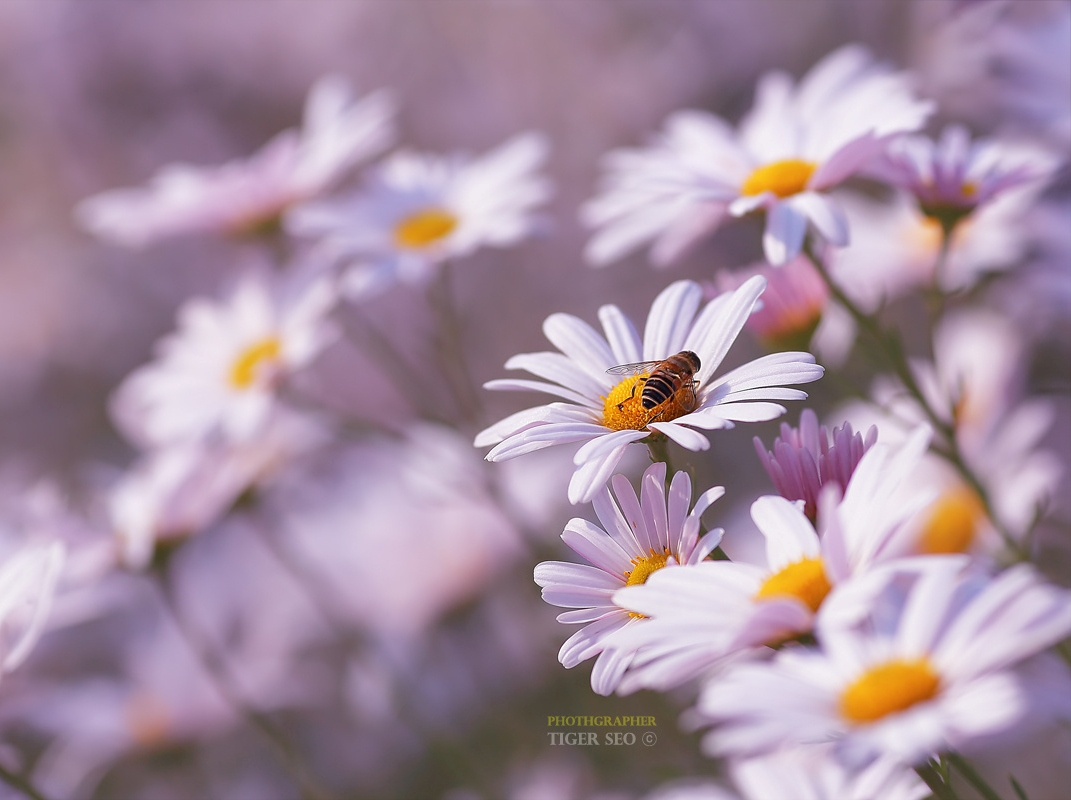 Пчела сидит на ромашке, ву Tiger Seo
