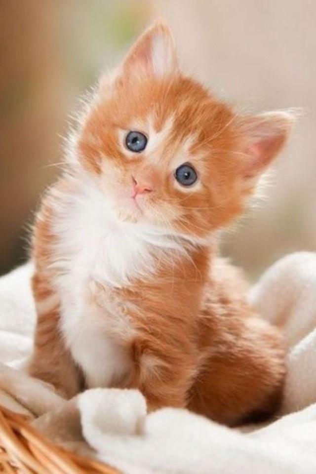 Бело рыжий котенок