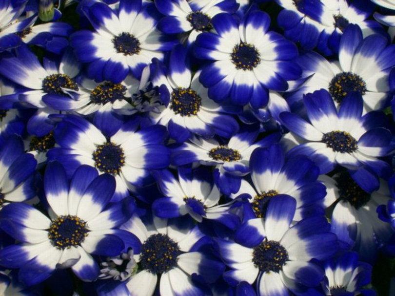 Фото цветы сине-белые