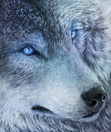 Фото Волк с голубыми глазами, by Striped Wolf99
