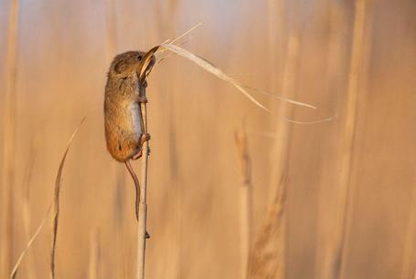 Фото Мышь на стебле травы