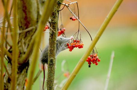 Фото Мышь ест ягоды рябины