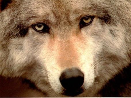 Фото Морда волка, спокойный взгляд которого направлен на нас