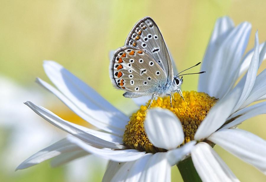 Бабочка на ромашке, ву Ali Aslan