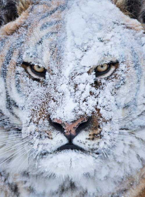 Фото Морда тигра в снегу