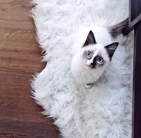 Фото Белая кошечка с голубыми глазами сидит на пушистом белом коврике и смотрит вверх