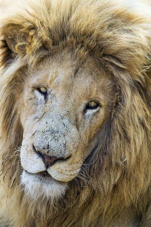 Фото Морда льва крупным планом