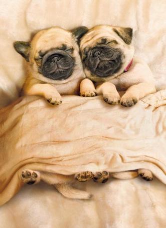 Фото Милые щенки мопса спят под покрывалом