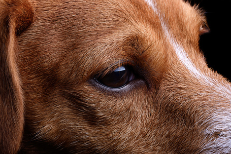 Фото Грустная собака породы Джек-рассел-терьер, by Mark Johnson