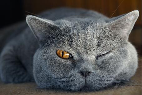 Фото Британская короткошерстная кошка лежит, прикрыв один глаз