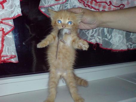 Фото Маленький котенок держит в зубах мышь