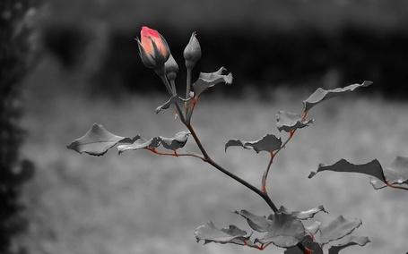 Фото Розовый бутон розы на сером фоне