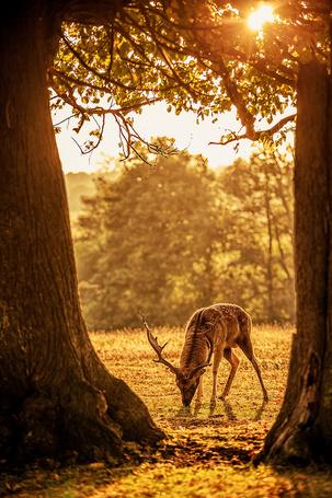 Фото Освещенный солнечными лучами олень щиплет траву, by Sam_C_Moore