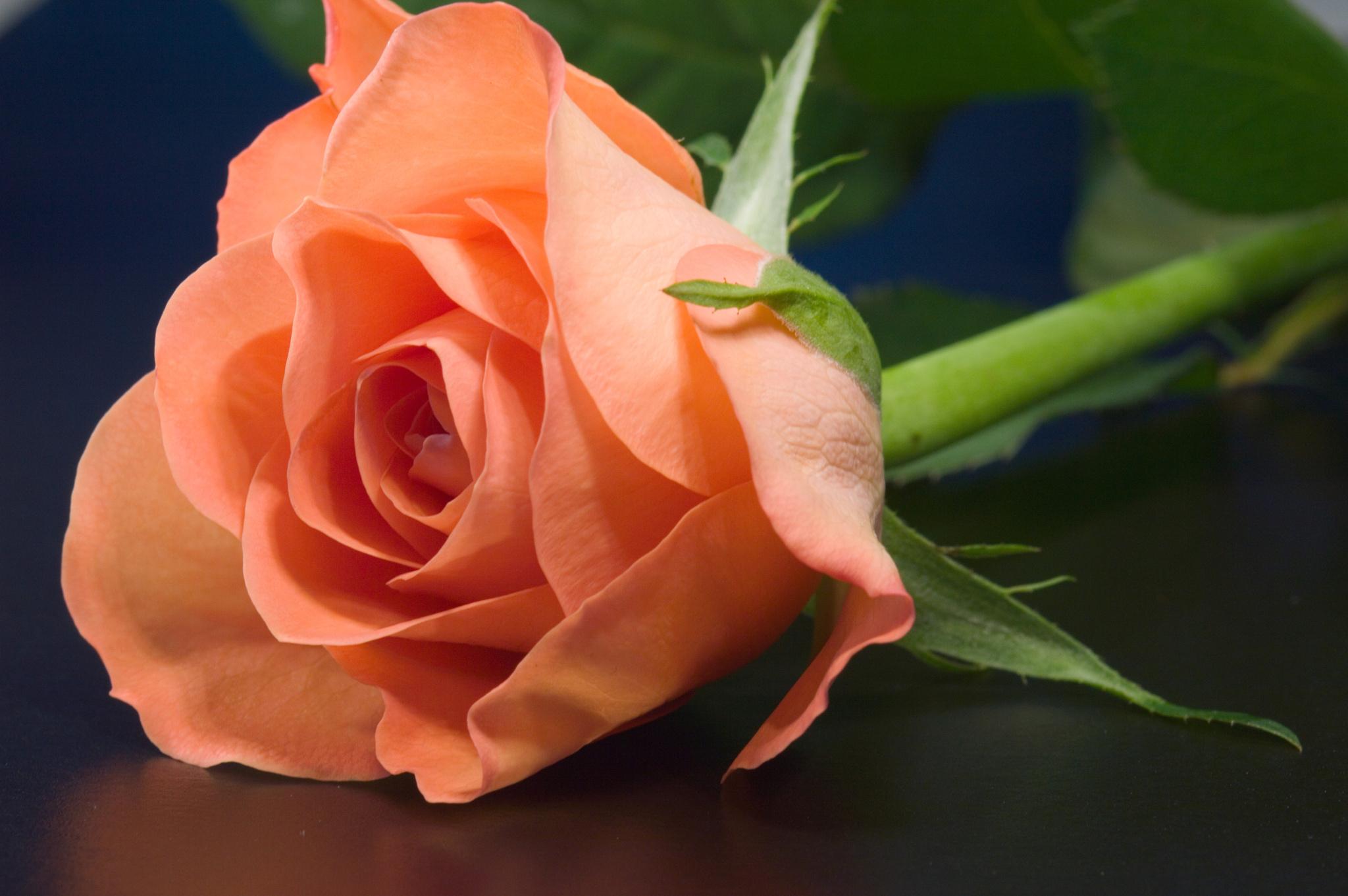 розы персиковый цвет фото вам округлости