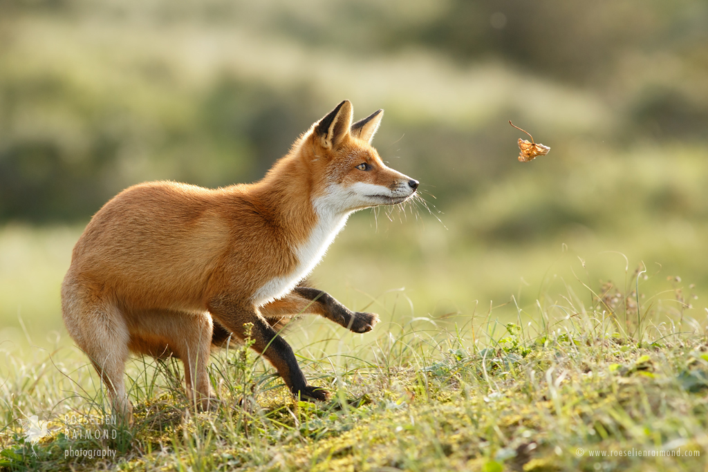 Фото лисы рябцево этой