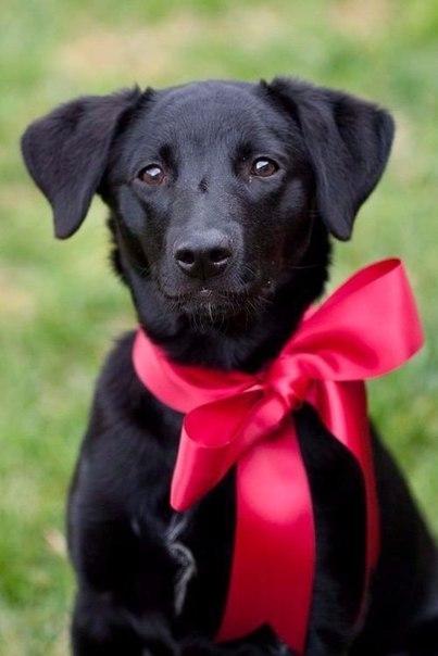 Фото Собака с лентой на шее, завязанной бантом