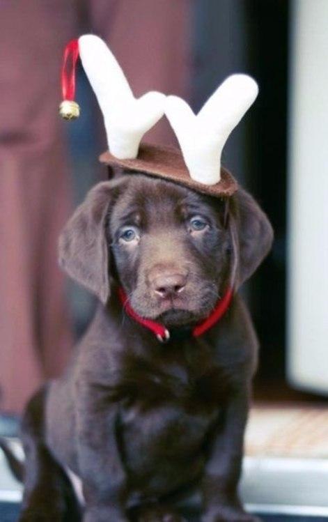 Фото У щенка на голове одеты пристегивающиеся оленьи рожки с бубеньчиком на ленточке