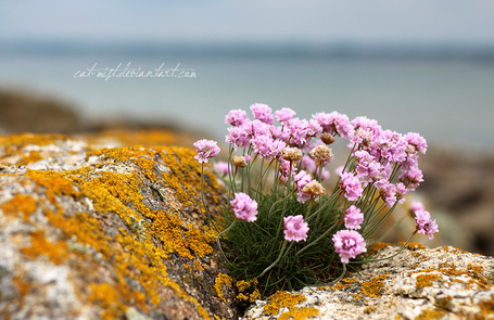 Фото Розовые цветы на камнях, by cat mist