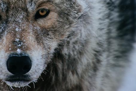 Фото Морда волка в снегу, фотограф Иван Кислов