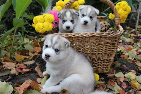 Фото Два щенка сидят в корзинке третий возле корзинки