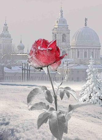Фото Зимняя розочка на фоне городского пейзажа
