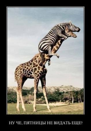 Фото Зебра забралась на жирафа (Ну че, пятницы не видать еще)
