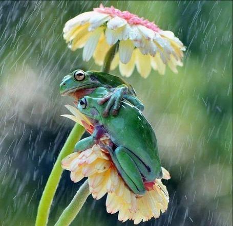 Фото Парочка лягушек, укрываются от дождя под цветочком