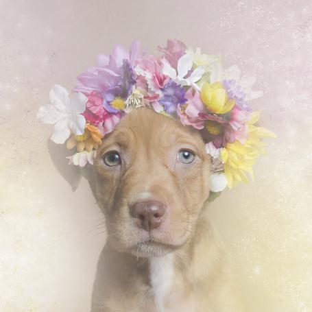 Фото питбуля с цветами