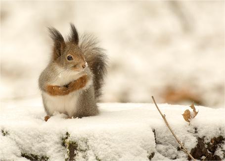 Фото Белка на снегу, фотограф Валерий Субачев