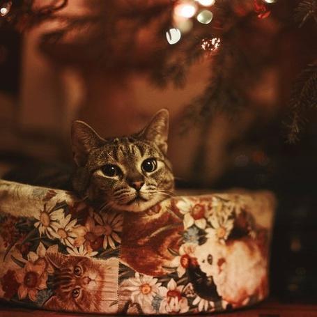Фото Кот лежит в подарочной коробке под елкой