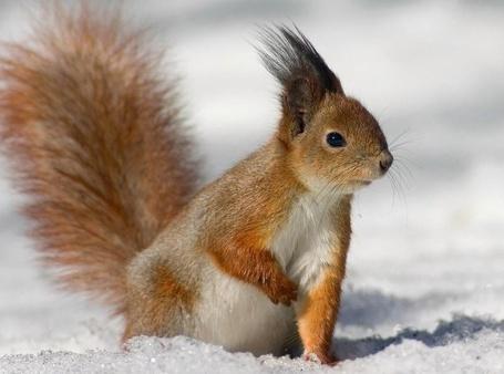 Фото Белочка сидит на снегу, подняв правую лапку