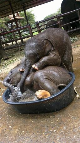 Фото Два слоненка купаются в тазике с водой