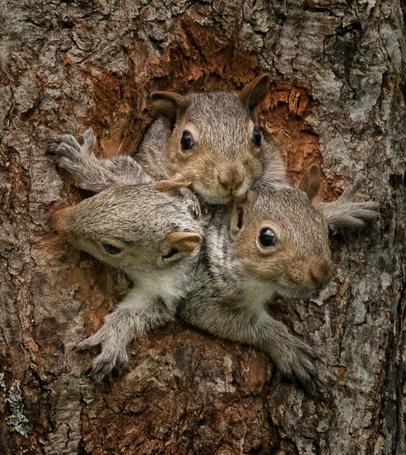 Фото Три белки в дупле