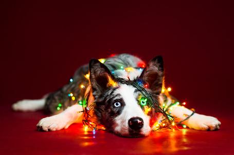 Фото Собака породы бордер-колли лежит на полу запутанная в гирлянде, by Wordup