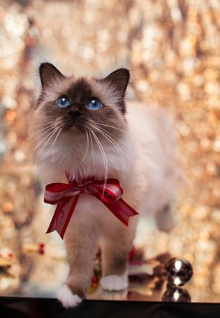 Фото Кошка с бантиком смотрит вверх, by Thunderi