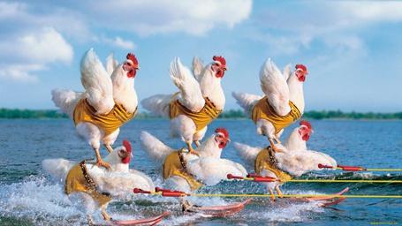 Фото Курицы на соревнованиях по водным лыжам