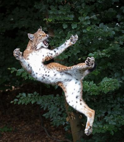 Фото Рысь в невероятном прыжке