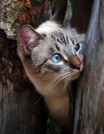 Фото Голубоглазый котенок выглядывает из-за дерева