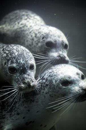 Фото Три милых тюленя, by LeadyGonzales