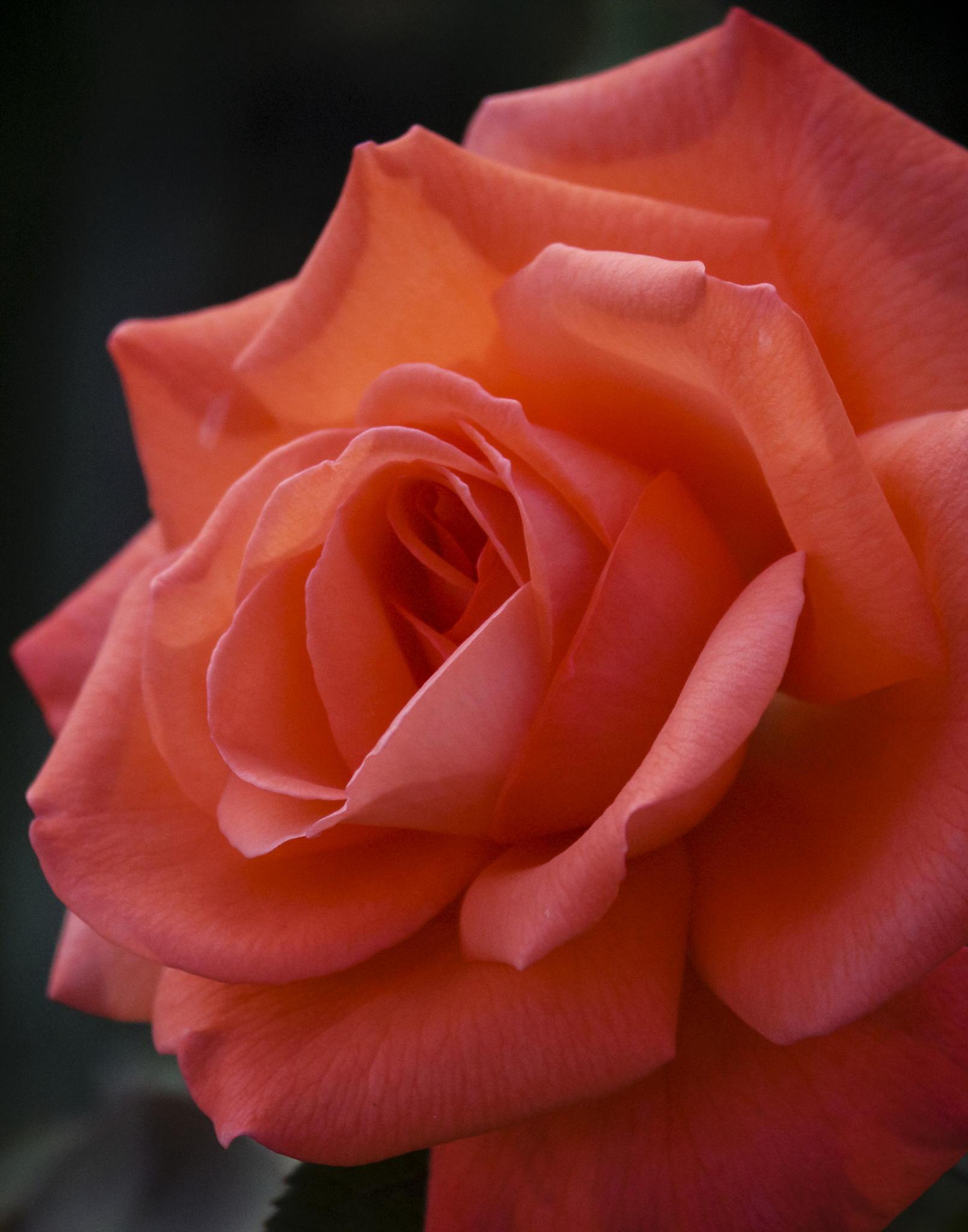 помощью этого одна алая роза фото имеет
